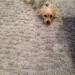 Kent-Dog-carpet-clean